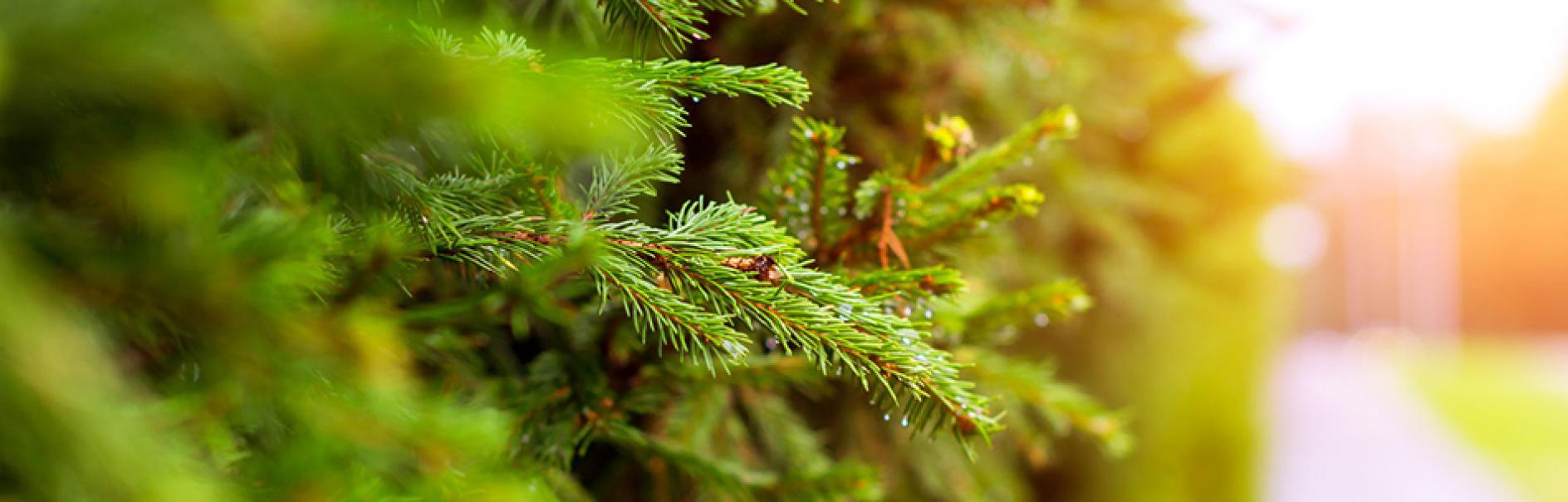 Koniferen Schneiden koniferen schneiden